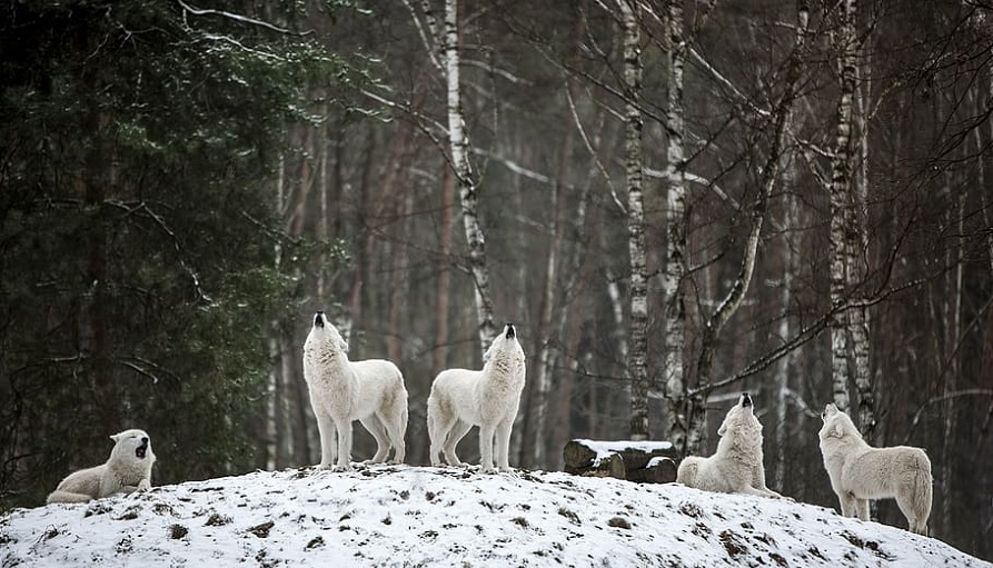 white wolves howling on a hill in a forest in winter